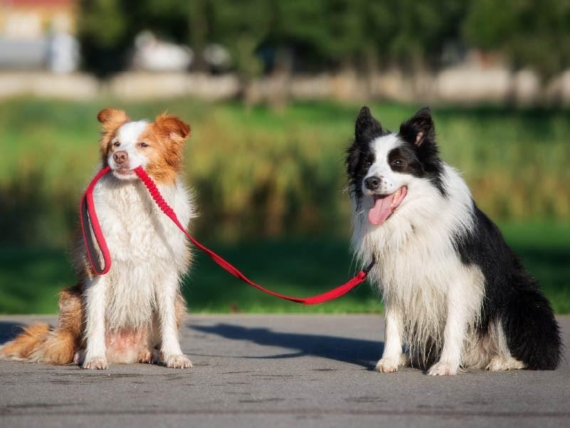 Coleiras, Peitorais e Guias para cães