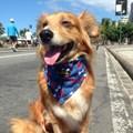Coleira Bandana Pet Style para cães
