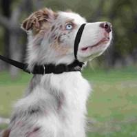 Produto Coleira cabresto Obedience antipuxão para cães