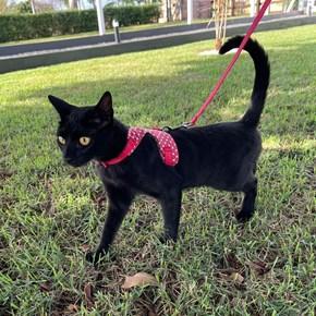 Peitoral Cat Zoe para gatos com guia para passeio